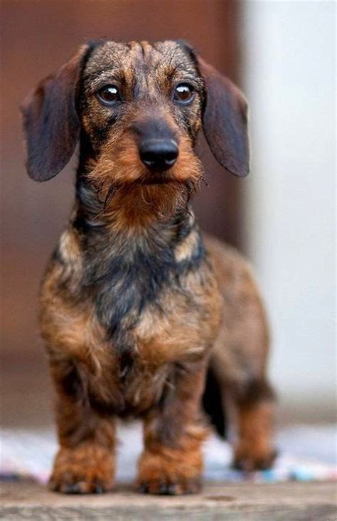wire haired dachshund puppy top 10 best breeds loving all dogs wire haired dachshund
