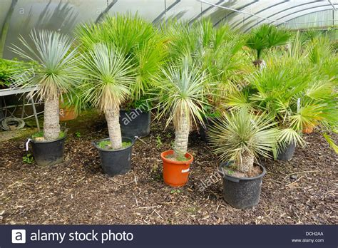 sales on trees small palm trees yucca rostrata for sale in an