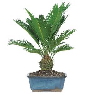 sago palm bonsai care