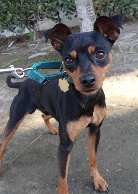 min pin images 17 best images about min pin on miniature