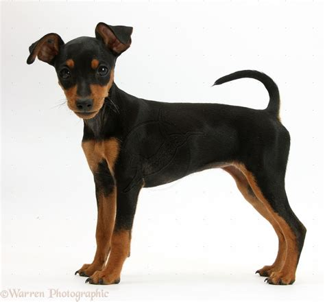 puppy pin miniature pinscher breed guide learn about the miniature pinscher