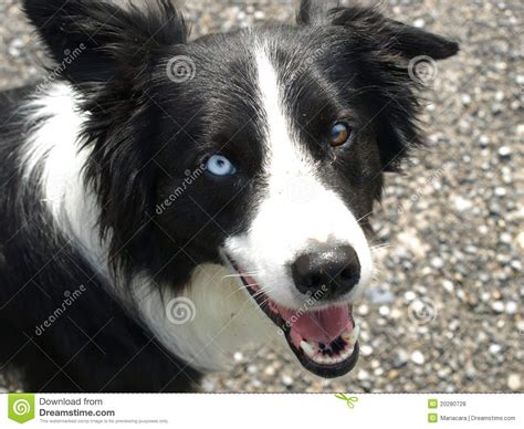puppy eye color border collie with different eye color royalty free stock photos image 20280728