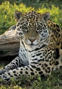Jaguar Panthera Onca Quot Jaguar Panthera Onca Quot By Konstantinos Arvanitopoulos