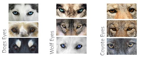 difference between wolf and difference between wolf jackal coyote and fox wolf foxes and