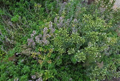 thymian garten thymian thymus vulgaris steckbrief eigenschaften und