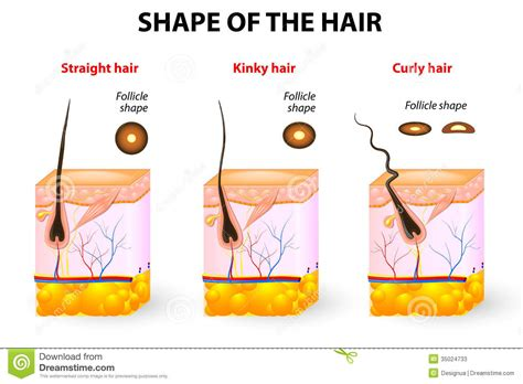 Hair Spa Types by Shape Of The Hair And Hair Anatomy Stock Vector Image