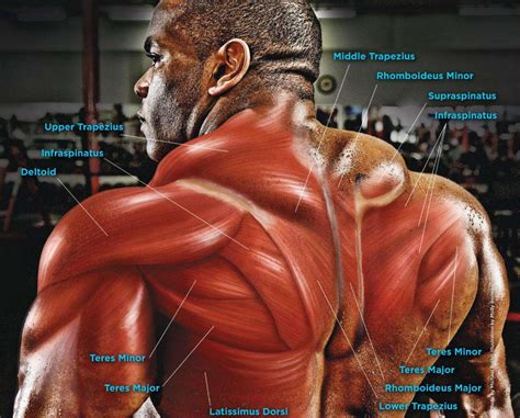 intermediate and deep muscles of the back anatomy tutorial youtube