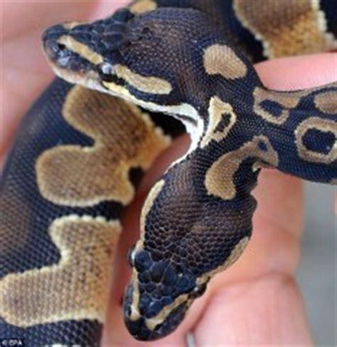 serpenti con due teste in germania nato un serpente con due teste crazinews