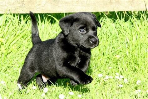 lab puppies for sale in nh lab breeders in nh breeds picture