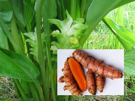 Kunyit Asam 25gr Isi 5 manfaat tanaman kunyit raya health info