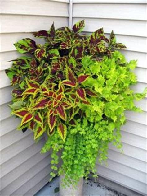 coleus plants plantfiles picture   coleus flame