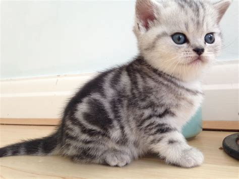 kitten for sale stunning bsh spotty tabby kittens for sale swindon
