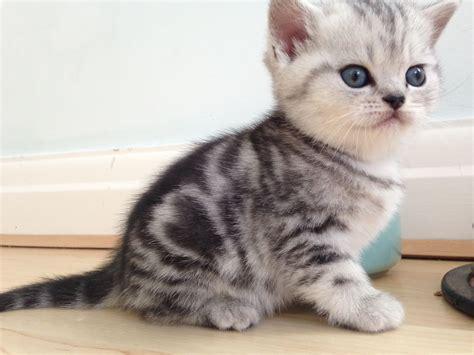 Stunning Bsh Spotty & Tabby Kittens For Sale   Swindon