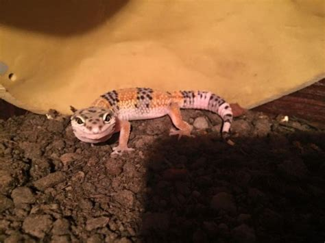 Baby Leopard Gecko Shedding by Baby Leopard Geckos Chesterfield Derbyshire Pets4homes