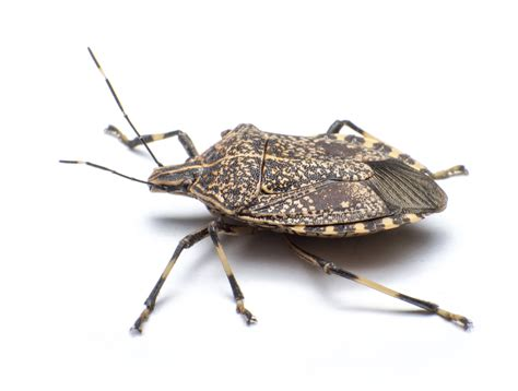 stink bugs in house stink bugs in house get them out war on stink bugs