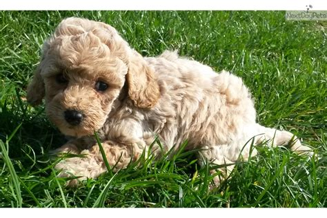 goldendoodle puppy for sale md mini goldendoodle goldendoodle puppy for sale near