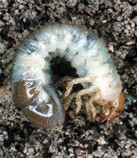 japanese beetle control grubs in lawn