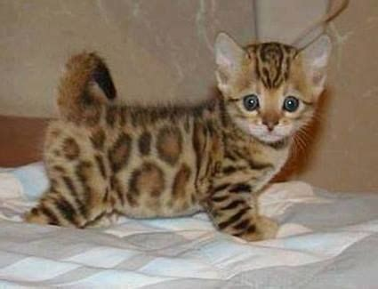 grammys outfit   bengal kitten