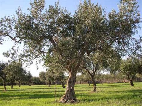 olive trees olea europaea fruit crops