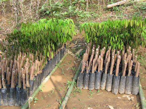 Jual Bibit Pohon Cendana Di Jakarta jual bibit pohon karet bersertifikat harga murah jakarta oleh toko pembibitan cikalong