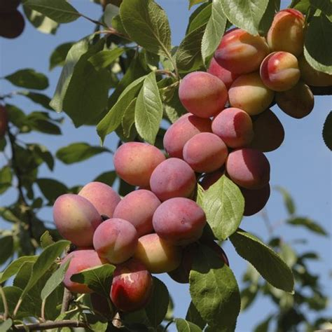 bare root fruit trees uk 1 m nectarine flavourtop fruit tree in 5 litre pot
