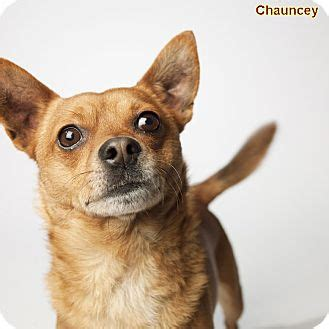 chihuahua puppies for sale in ohio cleveland pug puppy for sale in columbus breeds picture