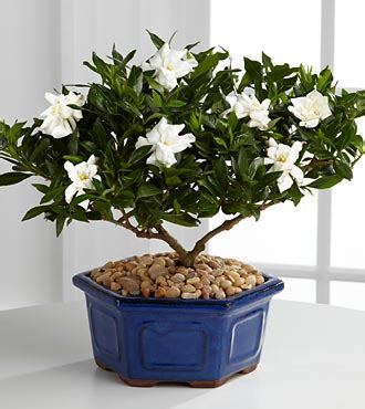 gardenia delivery flowers flower delivery send flowers online ashleys