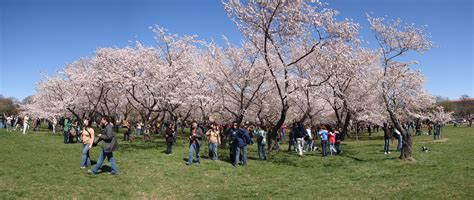 5 cherry tree grove 8 facts about washington dc s cherry blossom festival roadtrippers