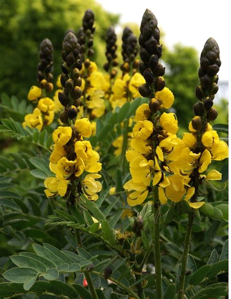 rare buttered popcorn plant senna didymobotrya  seeds