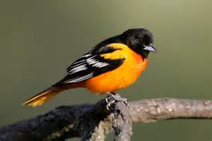 the balto brief angry birds or the baltimore oriole