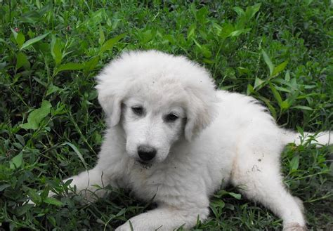 maremma puppy maremma sheepdog puppies one is mine rural ramblings
