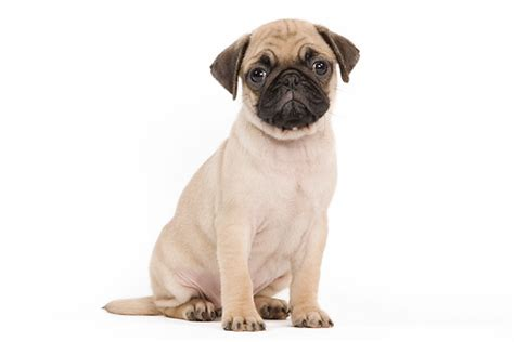 pug white background image gallery sitting pug
