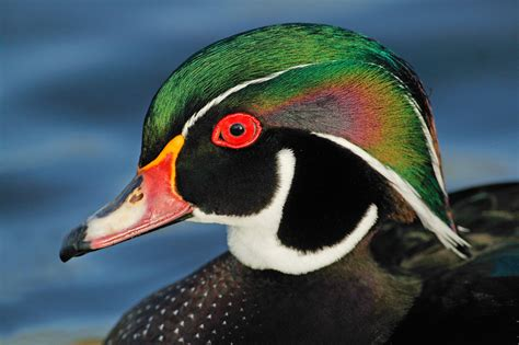 duck pictures wood duck audubon field guide