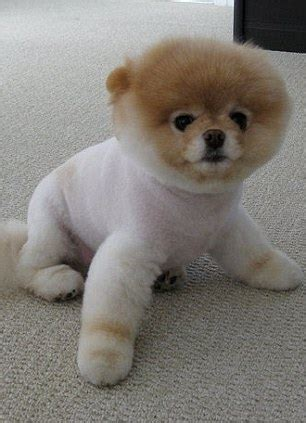 can all pomeranians look like boo boo the pomeranian world s cutest has millions of fans and a book