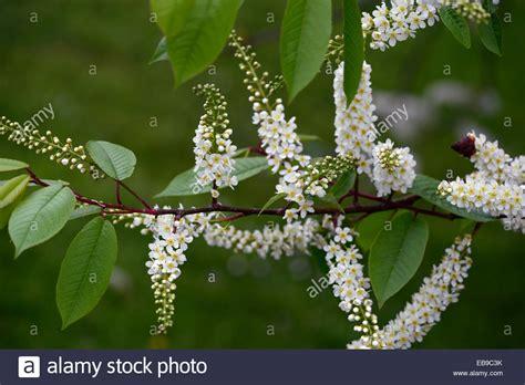 fragrant trees with white flowers prunus padus watereri agm bird cherry tree white flowers