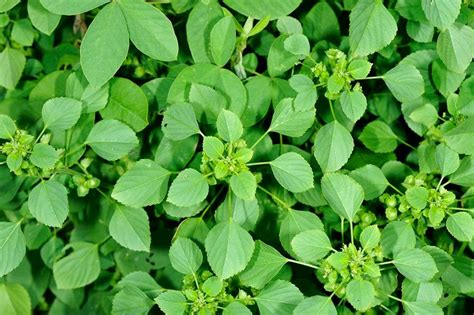 nathai choori plant images herbalkart the herbal store harita manjari