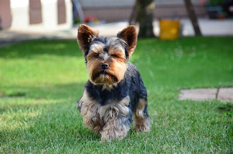 yorkie sizes terrier breed 187 information pictures more