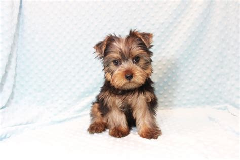 teacup yorkie for sale in fresno ca teacup shih tzu for sale in los angeles breeds picture
