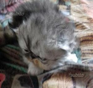 cuccioli gatti persiani in regalo cuccioli gattini gatti adottare imperia posot class
