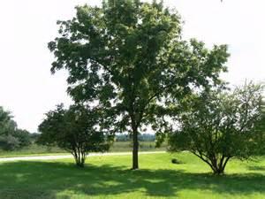 tree planting resume black walnut tree