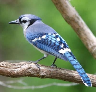 blue jay facts blue jay behavior migration diet habitat