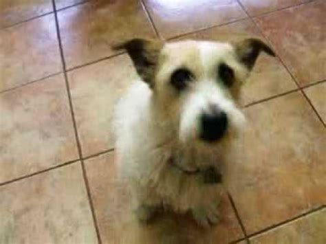 haircut ideas for long hair jack russell dogs wire hair jack russell terrier shorty youtube