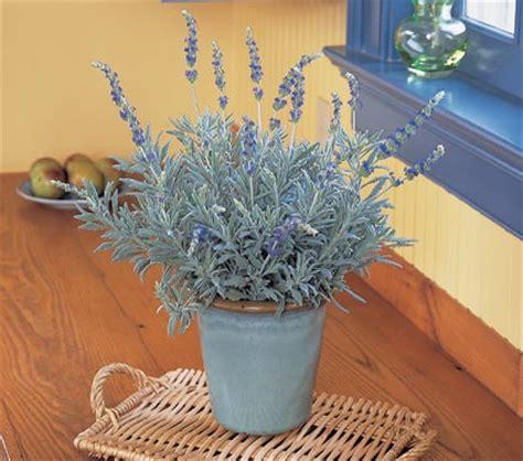 growing lavender indoors household pinterest