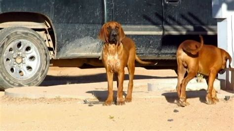 personal protection for sale personal protection dogs for sale k9s for sale
