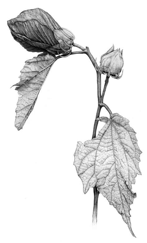botanical drawing using graphite 1785001590 1000 ideas about graphite illustrations on ralph steadman hummingbird illustration