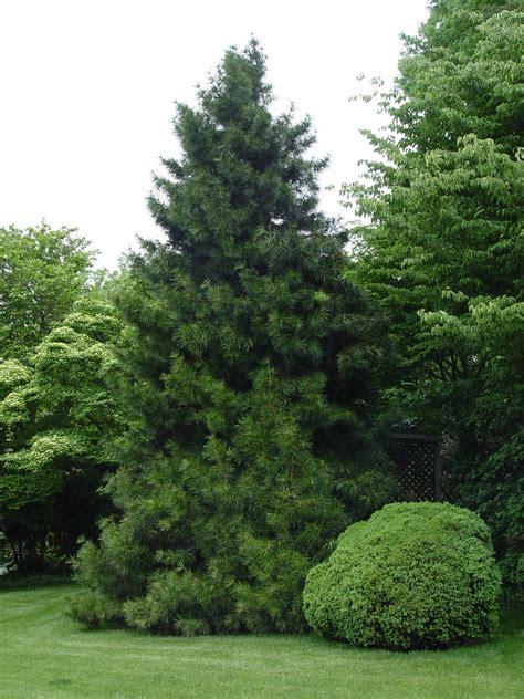 Japanese House Plants by Japanese Umbrella Pine Garden Housecalls