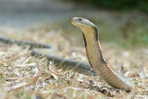 king cobra wikipedia