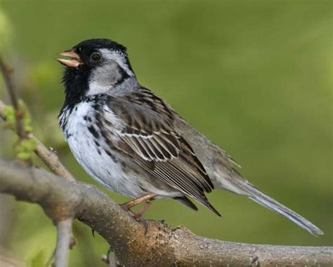harris s sparrow 5 8 14 birds in my backyard