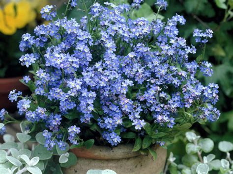 how to grow and care for a forget me not plant myosotis