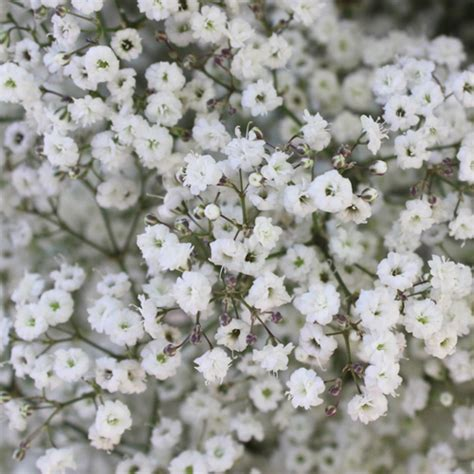 new love baby s breath flower
